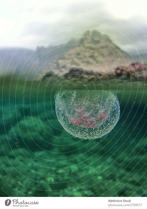Nahaufnahme von Quallen unter Wasser in der Natur Unterwasseraufnahme Luftblase wild anschaulich durchsichtig blau marin Meer Ferien & Urlaub & Reisen Leben