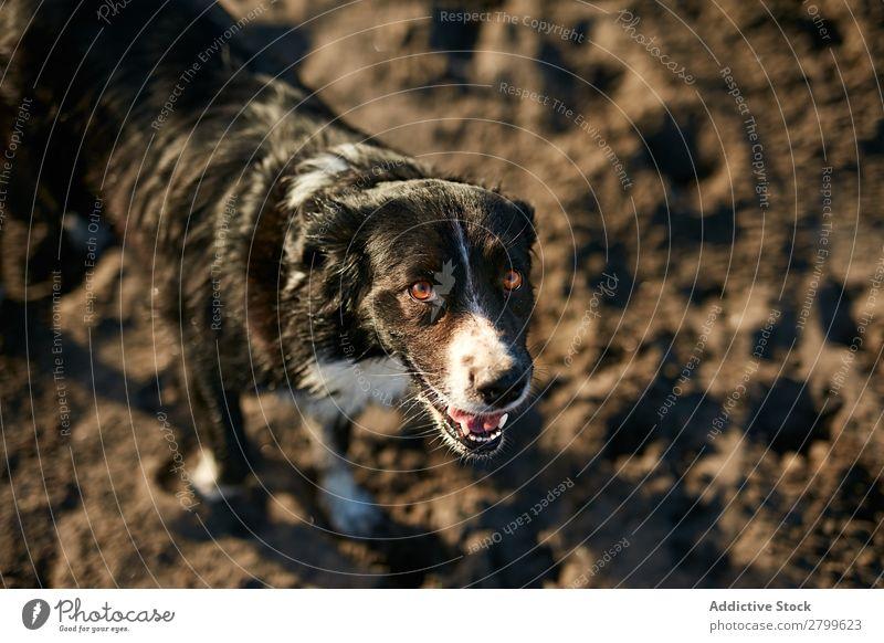 Lustiger Hund am Strand sitzend Sand atmen lustig Sonnenstrahlen Tag Haustier Natur Sommer Tier Glück Freude Menschenleer heimisch Reinrassig niedlich lieblich
