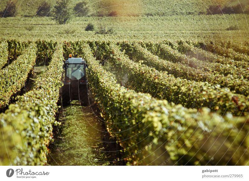 Wein holen Natur grün Pflanze Landschaft Herbst braun Arbeit & Erwerbstätigkeit Feld Erde natürlich Perspektive Sträucher Idylle Romantik Hügel