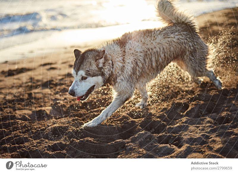 Lustiger Hund am Strand Sand atmen lustig Sonnenstrahlen Tag Haustier Natur Sommer Tier Glück Freude Menschenleer heimisch Reinrassig niedlich lieblich süß