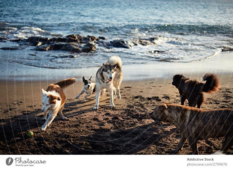 Hunde, die in der Nähe des wogenden Meeres laufen. Strand Spielen rennen Sand lustig Sonnenstrahlen Tag Haustier Natur Sommer Tier Glück Wellen Wasser Freude