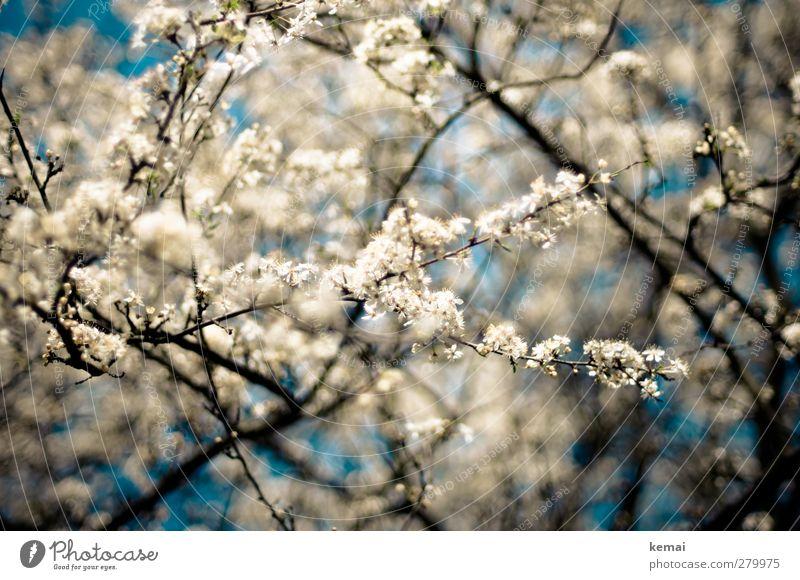 Hiddensee | In voller Blüte Himmel Natur schön Sommer Pflanze Baum Umwelt Wärme Frühling Blüte Garten Wachstum Schönes Wetter viele Ast Blühend