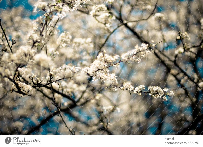 Hiddensee | In voller Blüte Himmel Natur schön Sommer Pflanze Baum Umwelt Wärme Frühling Garten Wachstum Schönes Wetter viele Ast Blühend