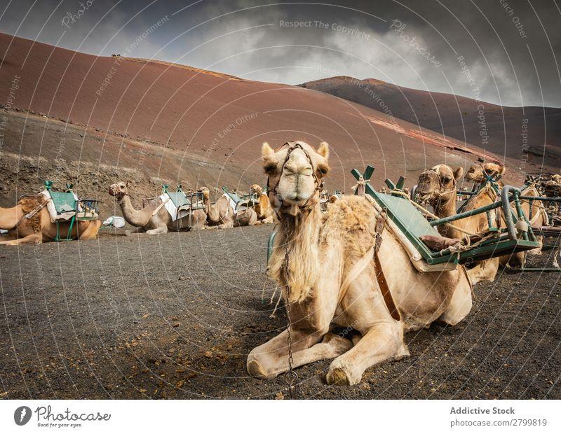 Gesattelte Kamele, die auf dem Boden ruhen. Karavane lügen Fuerteventura Kanaren Spanien