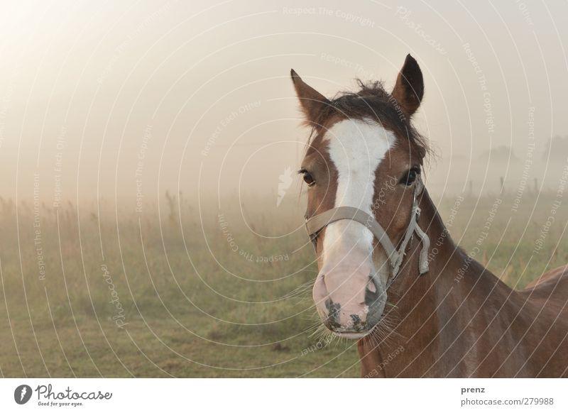 morgens und noch müde Umwelt Natur Landschaft Tier Nebel Nutztier Pferd 1 braun grün Pferdekopf Weide Farbfoto Außenaufnahme Textfreiraum links Tag