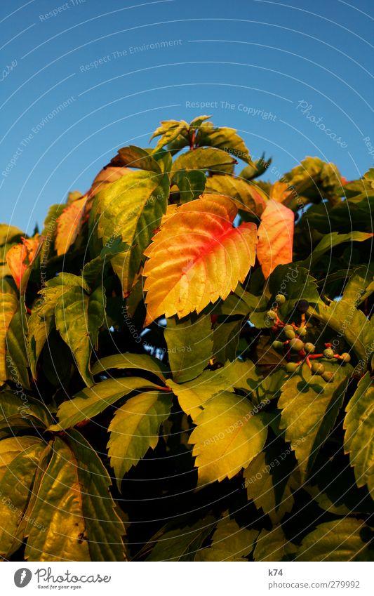 Herbst Umwelt Natur Landschaft Pflanze Himmel Wolkenloser Himmel Sträucher Blatt Grünpflanze Garten alt verblüht dehydrieren Wärme blau gelb grün rot