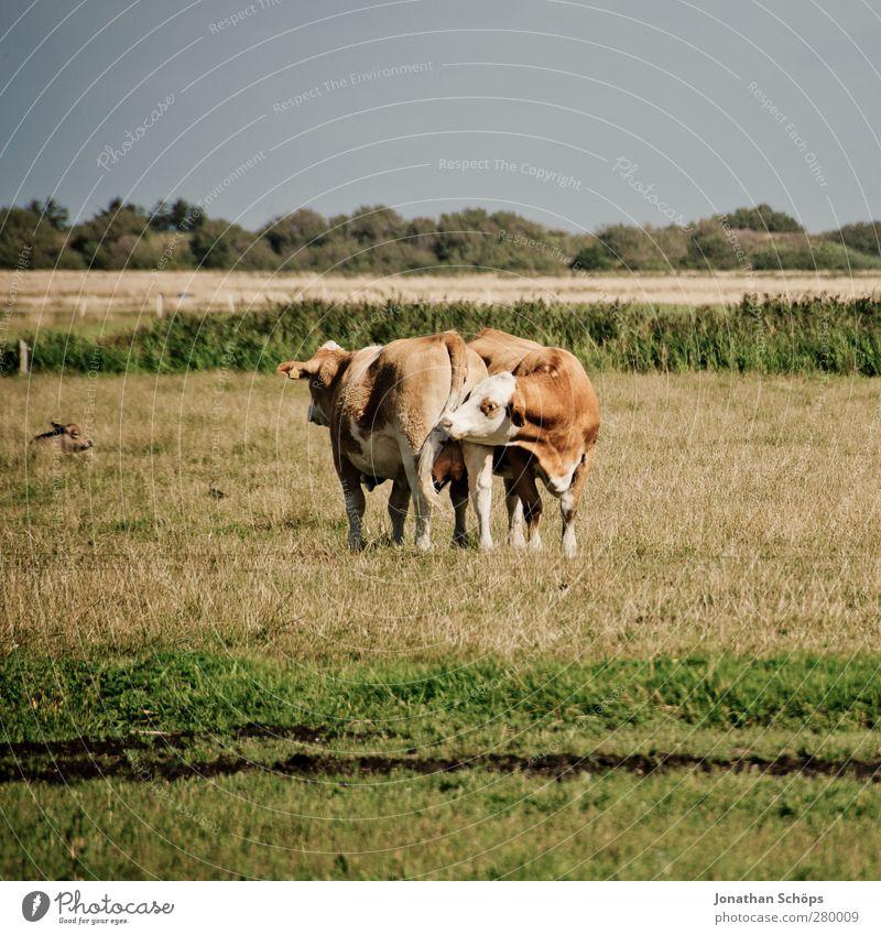 Schnüffler Natur Sommer Tier Umwelt Liebe Wiese Feld Tierpaar paarweise Landwirtschaft Mitte Hinterteil Bauernhof Kuh Geruch Humor