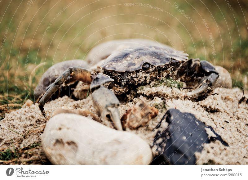 Krabbe Tier Wildtier 1 gruselig Krebstier Krustentier Gliederfüßer Ekel Angst Ungeheuer Meerestier Strand Küste Tierporträt krabbeln Farbfoto Außenaufnahme
