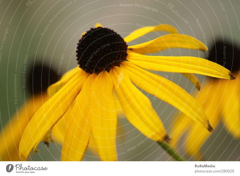 Rudbeckia fulgida var. sullivantii Pflanze Schönes Wetter Blüte Grünpflanze Blütenpflanze Garten Leben Farbfoto Außenaufnahme Nahaufnahme Menschenleer Tag