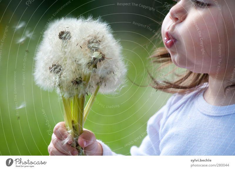 Kleinkind pustet Pusteblumen Gesicht Wohlgefühl Sommer Mensch feminin Kind Mädchen Kindheit Leben Nase Mund 1 1-3 Jahre Umwelt Natur Pflanze Blume Gras