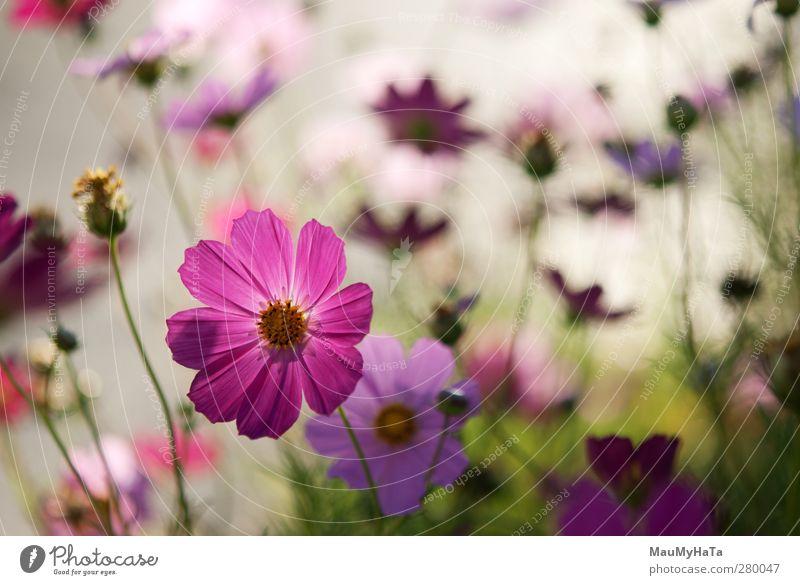 Blumen Natur Pflanze Urelemente Sonne Sonnenaufgang Sonnenuntergang Sonnenlicht Sommer Klima Wetter Schönes Wetter Gras Blatt Blüte Wildpflanze Garten Park Feld