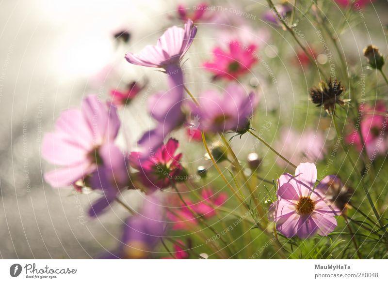 Blumen Natur Pflanze Sonnenaufgang Sonnenuntergang Sonnenlicht Sommer Klima Schönes Wetter Gras Blatt Blüte Garten Park Feld Fröhlichkeit Euphorie Coolness
