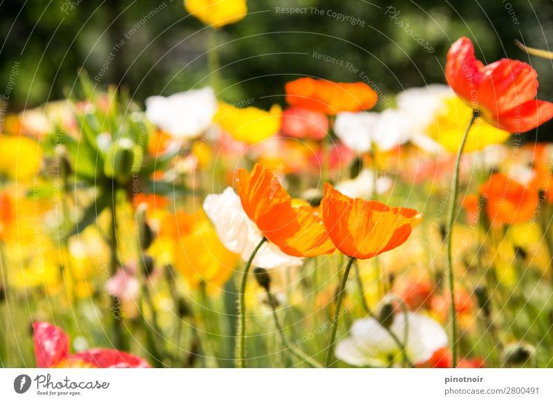 Mohnblumen im Sonnenlicht Sommer Natur Pflanze Schönes Wetter Wärme Blüte Wiese atmen Erholung leuchten gelb grün orange rosa Hintergrundbild Blühend zart