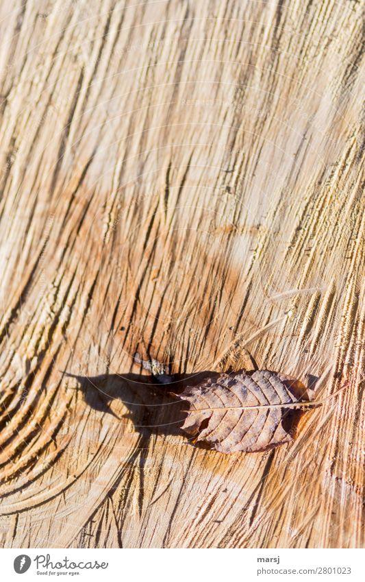 Trügerischer Schatten Herbst Blatt Herbstlaub Sägeschnitt gesägt Maserung Jahresringe Holz natürlich braun Farbfoto Gedeckte Farben Außenaufnahme Nahaufnahme