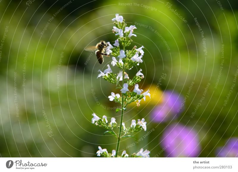 fleißige Biene Natur Pflanze Sommer Blume Blüte Garten 1 Tier fliegen frei Freundlichkeit natürlich Summen Farbfoto Außenaufnahme Tag Licht Kontrast Silhouette