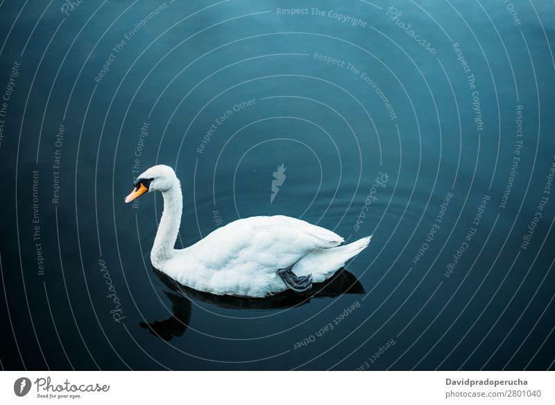 Schwan, der in einem Teich schwimmt. Vogel Beautyfotografie grün schön weiß elegant Szene ruhig friedlich Romantik erstaunlich Park Liebe natürlich Herz Frieden