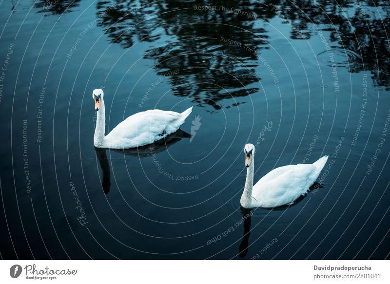 Zwei Schwäne, die in einem Teich schwimmen. Schwan Vogel Beautyfotografie grün schön weiß elegant Szene ruhig friedlich Romantik erstaunlich Park Liebe