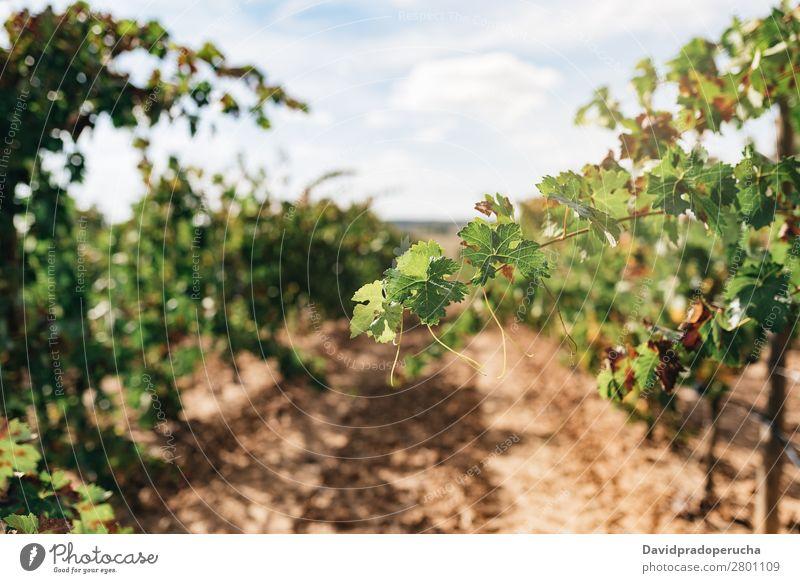 Schöner grüner Weinberg in Spanien Ernte Industrie Pflanze Blatt Landwirtschaft frisch Wachstum Landschaft Landen Frucht Garten Außenaufnahme produzieren Reihe