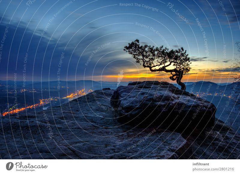 Wetterkiefer auf dem Lilienstein Landschaft Himmel Sonnenaufgang Sonnenuntergang Schönes Wetter Baum Kiefer Felsen Berge u. Gebirge Sächsische Schweiz