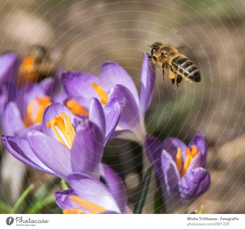 Biene im Anflug auf eine Blüte Honig Umwelt Natur Pflanze Tier Sonnenlicht Frühling Schönes Wetter Blume Krokusse Wiese Nutztier Wildtier Tiergesicht Flügel 1