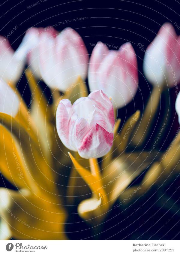 Blüte weiß rosa pink Blumenstrauß Natur Pflanze Frühling Sommer Herbst Winter Tulpe Blatt Blühend leuchten ästhetisch schön gelb gold Dekoration & Verzierung