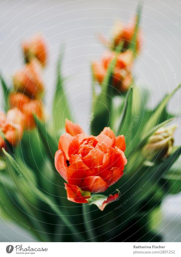 orange Blüte Tulpen Blumenstrauß Natur Pflanze Blatt Blühend leuchten ästhetisch schön grün rot türkis Dekoration & Verzierung Tulpenblüte Tulpenknospe Farbfoto