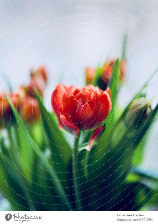 rote Blüte dekorativ Blumenstrauß Natur Pflanze Frühling Sommer Herbst Winter Tulpe Blatt Blühend leuchten Wachstum ästhetisch schön grün orange türkis