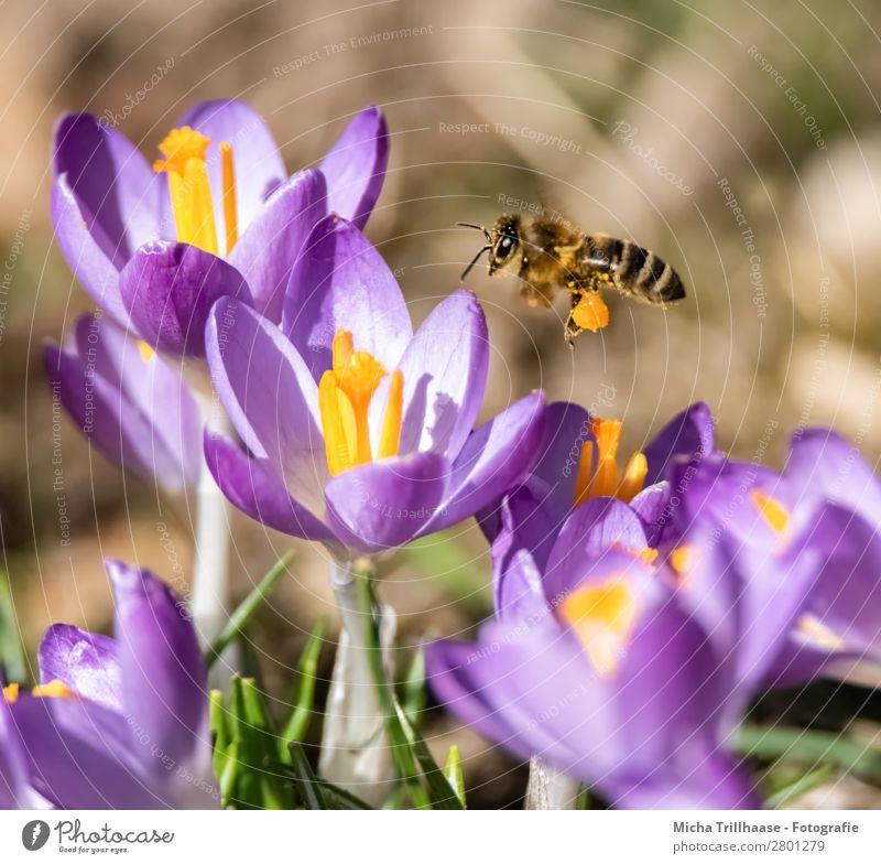 Fliegende Biene über Krokusblüten Honig Umwelt Natur Pflanze Tier Sonnenlicht Frühling Schönes Wetter Blume Blüte Wiese Nutztier Wildtier Tiergesicht Flügel 1