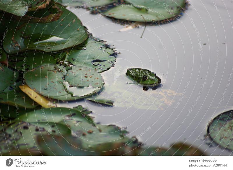 Freizeitverhalten eines Single Frosches Garten Umwelt Natur Pflanze Tier Wasser Sommer Herbst schlechtes Wetter Blatt Grünpflanze Seerosenblatt Teich Wildtier