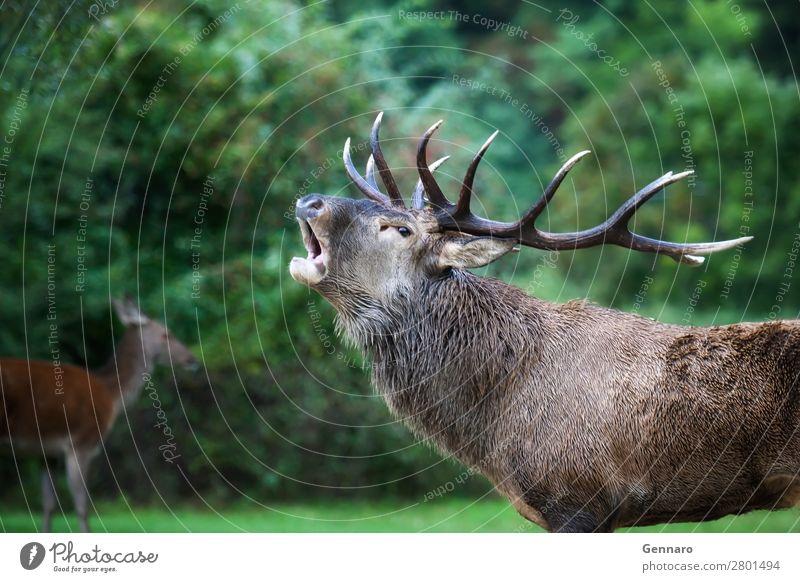 Hirsch in der Liebe, Brüllen schön Gesicht Mann Erwachsene Natur Tier Park Wald Mantel Pelzmantel Wildtier 2 Herde beobachten natürlich wild braun Kraft Farbe