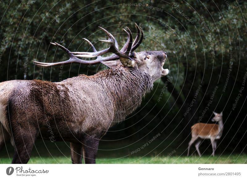 Männlicher Hirsch in der Liebe, Brüllen, Brüllen, Brüllen schön Gesicht Mann Erwachsene Natur Tier Park Wald Pelzmantel Haustier Wildtier 2 Herde natürlich wild