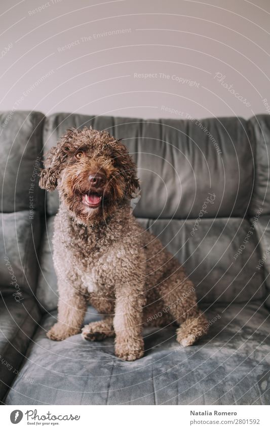 schöner Wasserhund auf dem Sofa sieht vorne aus Freude Erholung Haus Raum Wohnzimmer Familie & Verwandtschaft Freundschaft Tier Haustier Hund 1 Tierfamilie