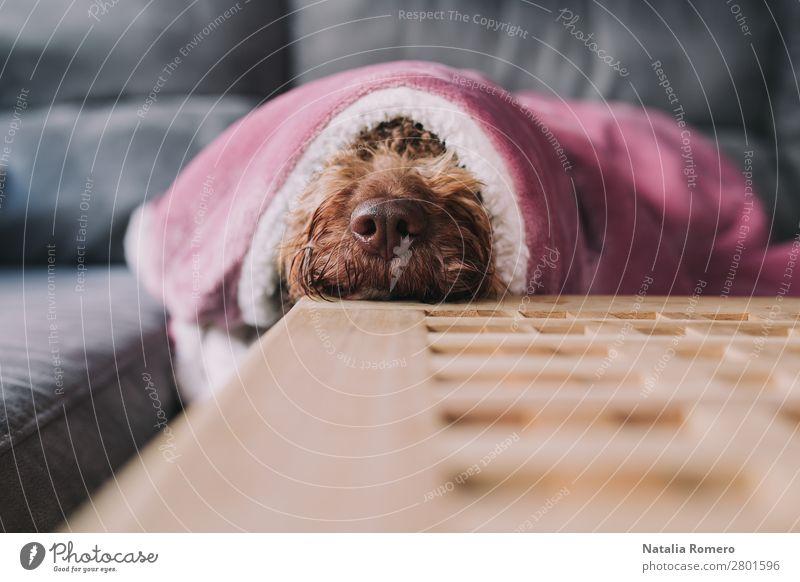 Der Hund legt seine Schnauze auf einen Tisch. Gesicht ruhig Sofa Wohnzimmer Familie & Verwandtschaft Freundschaft Tier Haustier 1 Tierfamilie Lächeln Liebe