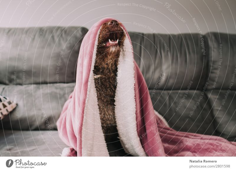 Wasserhund streckt seine Nase unter der Decke aus. Freude Gesicht ruhig Spielen Möbel Sofa Tisch Wohnzimmer Familie & Verwandtschaft Freundschaft Tier Haustier