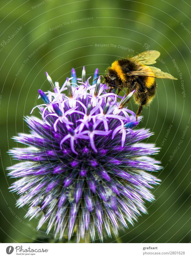 Hummel sammelt Nektar auf violetter Blume Arbeit & Erwerbstätigkeit bestäuben Biene biodiversiät Blühend Blüte fleißig fliegen Flügel Fressen Garten Honig