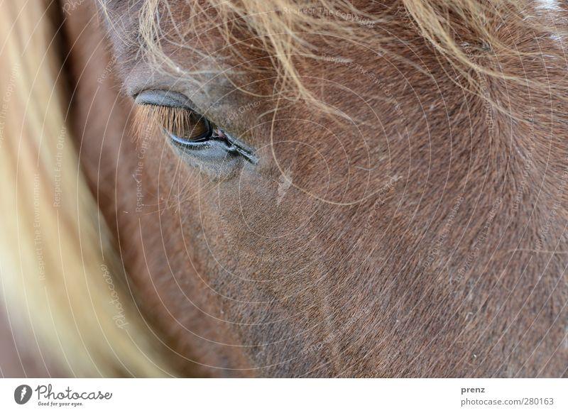 Blick Umwelt Natur Tier Nutztier Pferd 1 braun Kopf Mähne Auge Island Ponys Farbfoto Außenaufnahme Menschenleer Textfreiraum unten Tag Schwache Tiefenschärfe