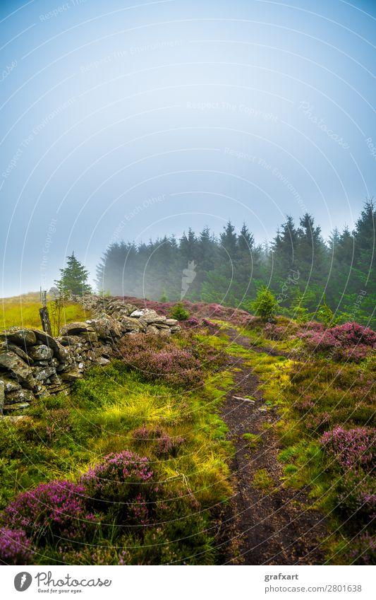 Wanderweg durch nebligen Nadelwald und Heidekraut in Schottland Fichte Highlands Klima Landschaft Licht bezaubernd malerisch Mauer mystisch Nadelbaum Natur