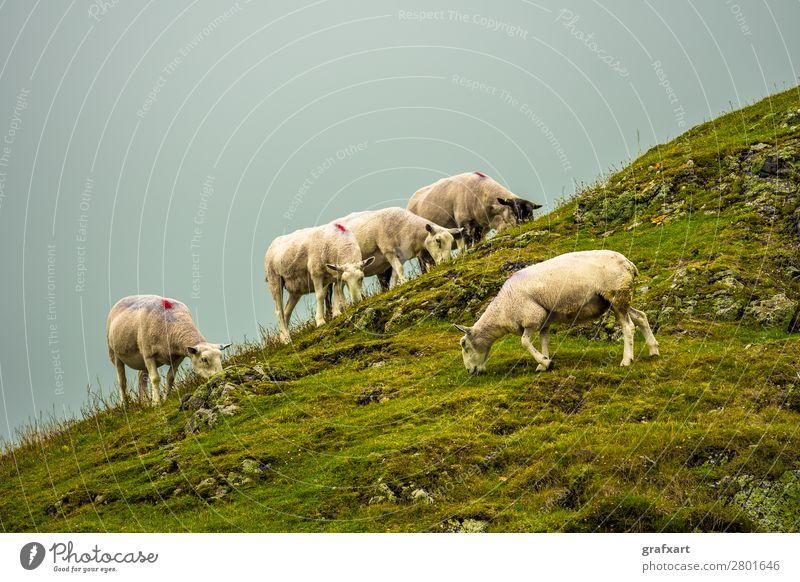 Herde mit Schafen auf einer felsigen Weide in Schottland Natur weiß Landschaft Tier Hintergrundbild Umwelt Wiese Zusammensein Feld Tiergruppe malerisch Hügel