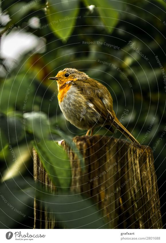 Aufmerksames Rotkehlchen auf Baumstumpf in Wald aufmerksam tier vorsichtig hintergrund schnabel schön biodiversität vogel brust braun nahaufnahme farbig süss
