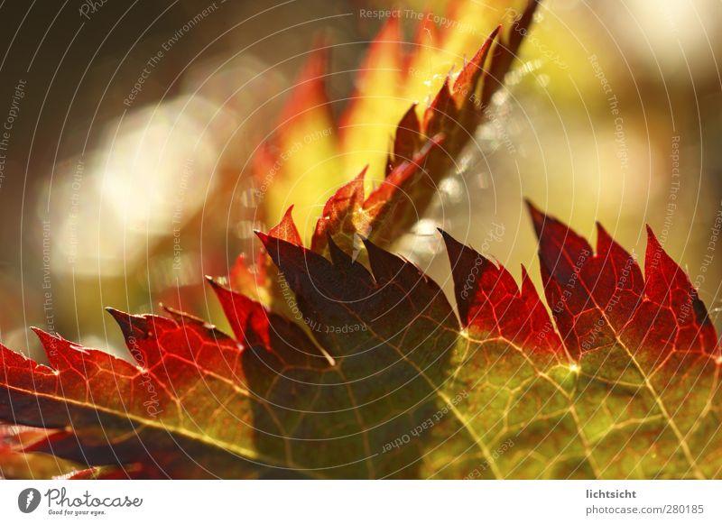 Herbstfeuer Natur Pflanze Sommer Schönes Wetter Wärme Blatt Garten grün rot Blattadern Feuer Flamme Spitze Zacken Verlauf Farbverlauf rot-grün