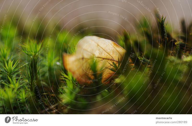 Weich gebettet... Umwelt Natur Pflanze Herbst Moos Blatt Grünpflanze Wildpflanze Wald dünn authentisch einfach natürlich trocken braun grün Farbfoto mehrfarbig