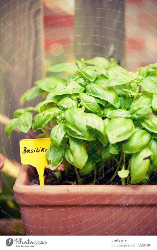 Gartenkräuter I Pflanze Sommer Basilikum Kräuter & Gewürze Italien Italienische Küche lecker Pesto Pizza Salat grün gelb Natur Außenaufnahme Zaun Wachstum