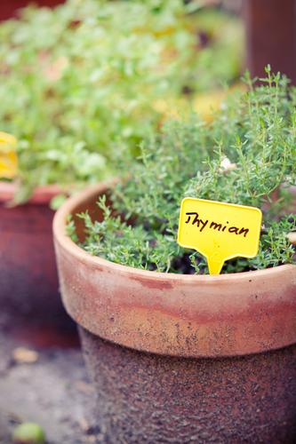 Gartenkräuter II Thymian Pflanze Sommer Kräuter & Gewürze Frankreich französische Küche lecker Medikament Salat grün gelb Natur Außenaufnahme Wachstum Balkon