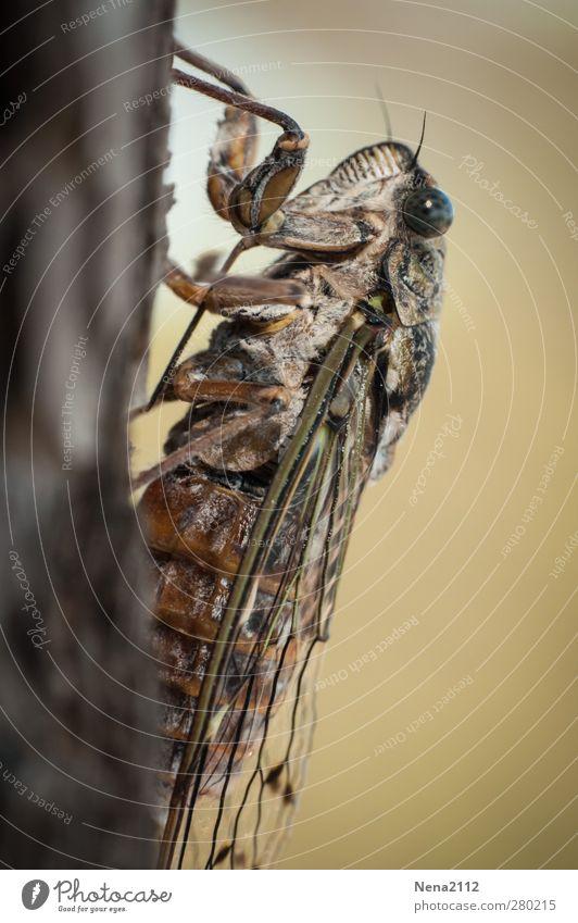 Singzikade der Provence Tier 1 braun Insekt Zikade singzikade mediterran Südfrankreich Warmherzigkeit laut Symbole & Metaphern stridulation Sommer sommerlich