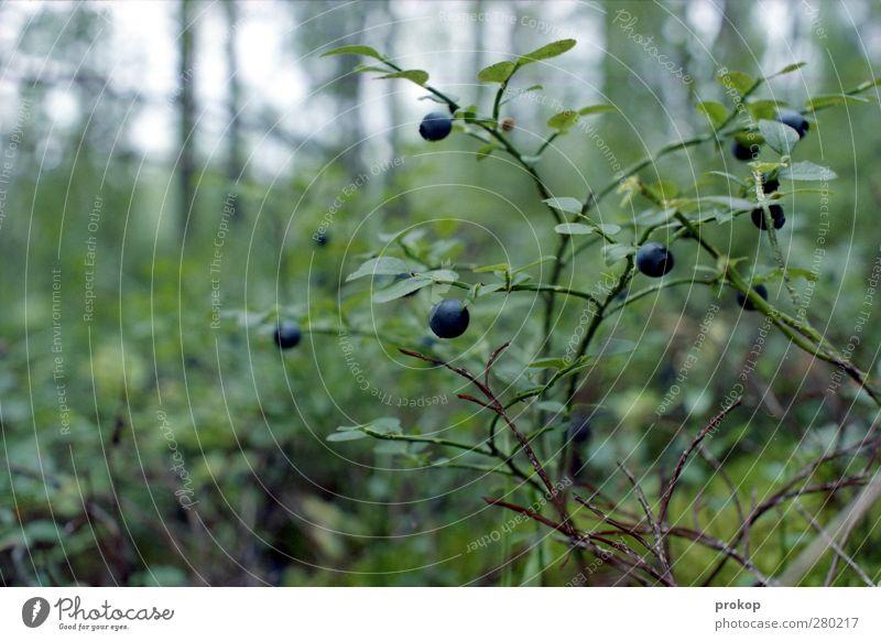 Heidelbeere Umwelt Natur Landschaft Pflanze Blatt Wildpflanze Blaubeeren Wald Gesundheit wild Wildnis Lebensmittel Beeren Vaccinium myrtillus Farbfoto