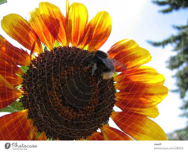 Hummel Sonnenblume Blume Sommer Physik Insekt Verkehr Wärme