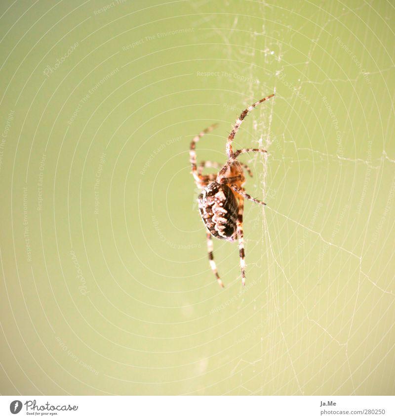 Im Netz der Spinne Tier Wildtier Kreuzspinne Spinnennetz Spinnenbeine gartenkreuzspinne 1 hängen Jagd Farbfoto mehrfarbig Außenaufnahme Nahaufnahme