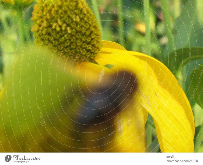 Blume Blume grün Sommer gelb Wiese Biene