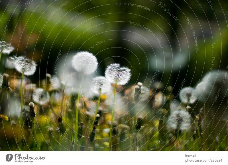Verweile und rieche an den Blumen Umwelt Natur Pflanze Sonnenlicht Frühling Sommer Schönes Wetter Gras Grünpflanze Wildpflanze Löwenzahn Löwenzahnfeld Garten