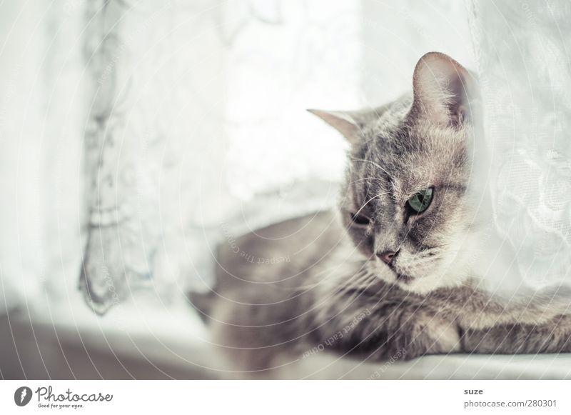 Fensterplatz Katze Tier Erholung grau hell authentisch niedlich weich Fell Müdigkeit Haustier Langeweile sanft Gardine tierisch